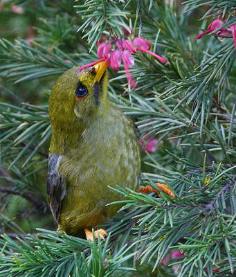 Bell Miner Enjoying A Pollen Snack Print by Margaret Saheed