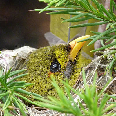 Photograph - Bell Miner On Nest by Margaret Saheed