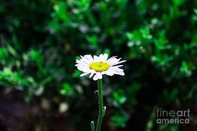 Daisy Photograph - Bellis Perennis by Chris Baboolal