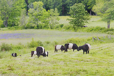 Maine Meadow Photograph - Belted Galloway Cows Rockport Maine Poster Prints by Keith Webber Jr
