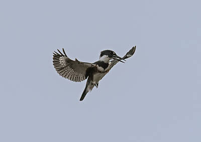 Belted Kingfisher Hovering Print by Loree Johnson