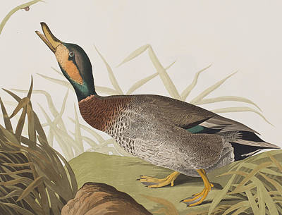 Bite Drawing - Bemaculated Duck by John James Audubon