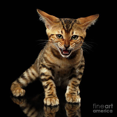 Golden Gate Bridge Photograph - Bengal Kitty Stands And Hissing On Black by Sergey Taran