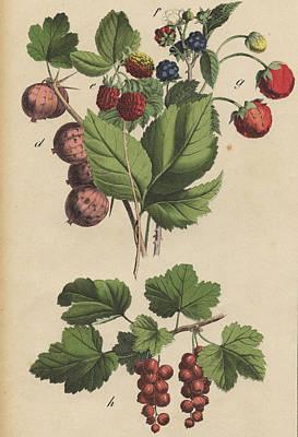 Berries And Currants Print by German Botanical Artist