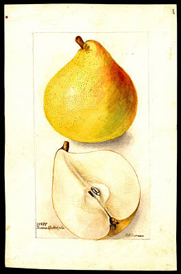 Drawing - Beurre Baltet Variety Of Pears by Deborah Griscom Passmore