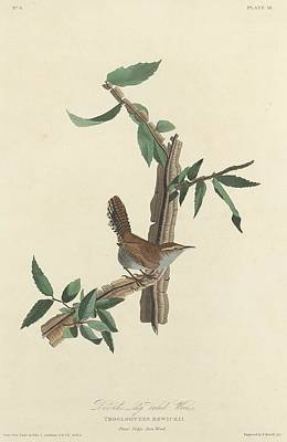Wren Drawing - Bewick's Long-tailed Wren by John James Audubon