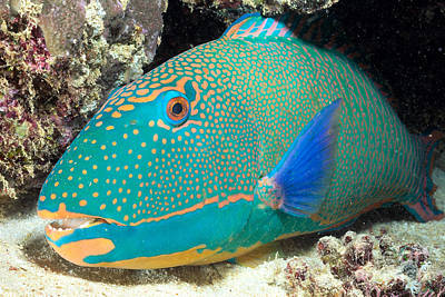 Parrotfish Photograph - Bicolor Parrotfish by Dave Fleetham - Printscapes