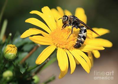 Yellow Photograph - Big Bee On Yellow Daisy by Carol Groenen