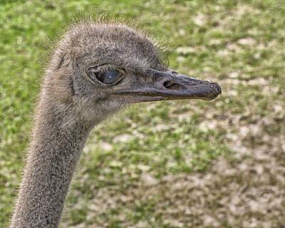 Emu Digital Art - Big Ostrich by Dennis Dugan