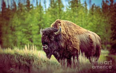 Bison Bison Photograph - Big Daddy by Robert Bales