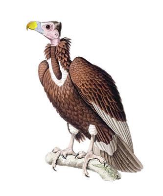 Vulture Drawing - Big Eared Vulture by Douglas Barnett