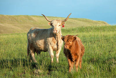 Cows Photograph - Big Horn, Little Horn by Todd Klassy
