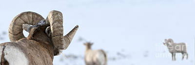 Big Horn Rams Print by Wildlife Fine Art