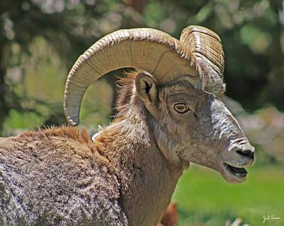 Csu Photograph - Big Horn Sheep by Zach  Arnone