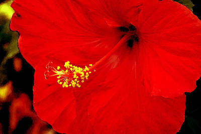 Caribbean Flowers Print featuring the photograph Big Red Caribbean Hibiscus by Leonard Rosenfield