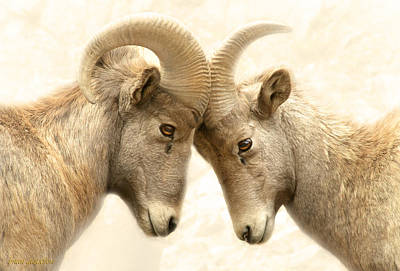 Matting Photograph - Bighorn Love by Brian Gustafson