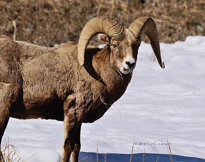 Ram Horn Photograph - Bighorn Ram Unflustered by Kae Cheatham