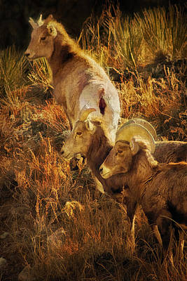 Bighorn Sheep Digital Painting Print by Priscilla Burgers