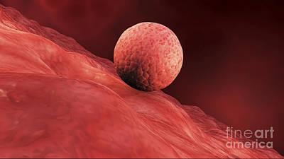Biomedical Illustration Of Embryo Print by Stocktrek Images