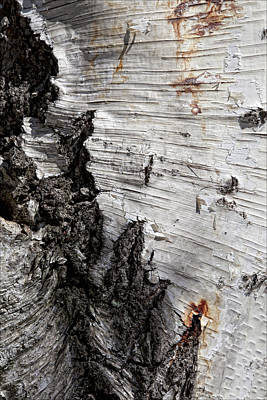 Birch Bark Photograph - Birch Bark by Robert Ullmann