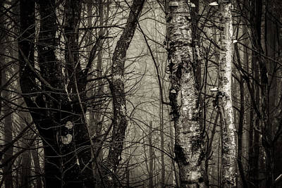 Birch Print by Bob Orsillo