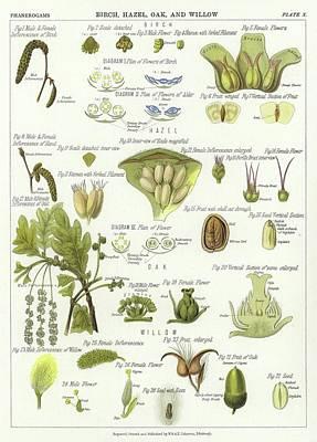 Birch, Hazel, Oak, And Willow Print by English School