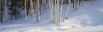 Snowscape Photograph - Birch Trees In The Snow, South by Panoramic Images