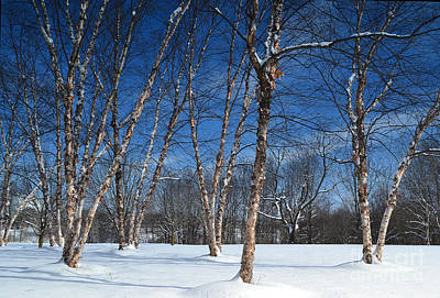 Indiana Photograph - Birch Trees In Winter by Amy Lucid