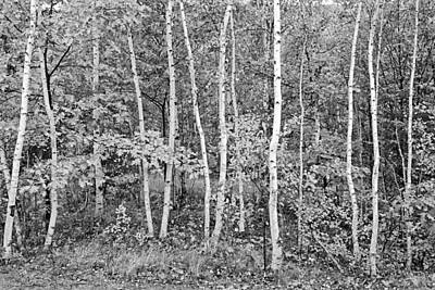 Digital Photograph - Birches Acadia 1995 by Peter J Sucy