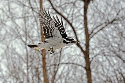 Picoides Villosus Photograph - Bird Banding - Woodpecker by Asbed Iskedjian
