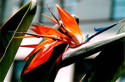 Tropical Photograph - Bird Of Paradise 2 by Susanne Van Hulst