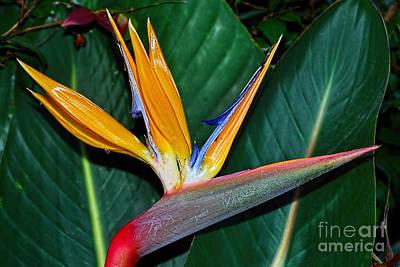 Strelitzia Photograph - Bird Of Paradise By Kaye Menner by Kaye Menner