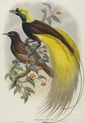 Bald Painting - Bird Of Paradise  by Celestial Images