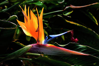 Blue Flowers Photograph - Bird Of Paradise Flower by Brian Harig