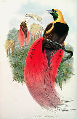 Jungle Animals Painting - Bird Of Paradise by John Gould