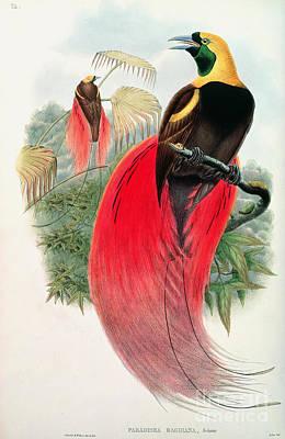 Audubon Painting - Bird Of Paradise by John Gould