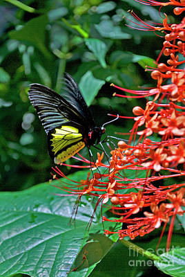 Flying Spider Photograph - Birdwing Butterfly by Skip Willits