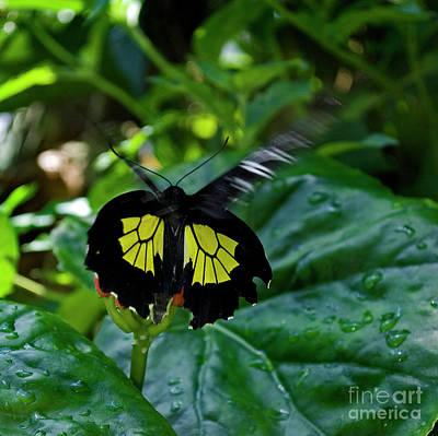 Flying Spider Photograph - Birdwing In Flight by Skip Willits