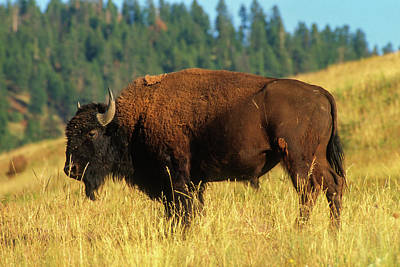 Buffalo Digital Art - Bison Bull In The Late Evening Magic Light by Jerry Voss