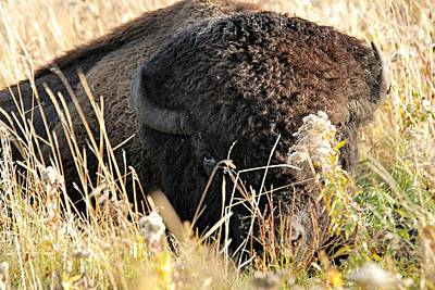 Bison Photograph - Bison In Hiding by Larry Ricker