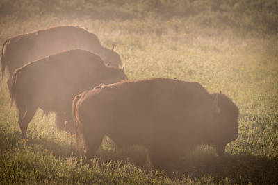 Bison Photograph - Bison Morning Mist Yellowstone by Steve Gadomski