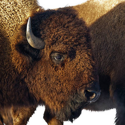 Bison Print by Ron  McGinnis