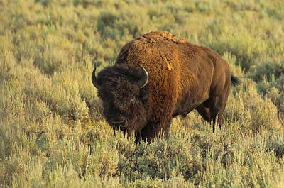 Bison Print by Sebastian Musial