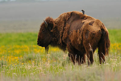 Bison With Cowbird On Back Print by Alan Lenk