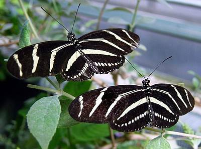 Striped Butterfly Painting - Black And White Striped  Butterflies by Anne Sands