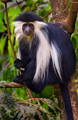Colobus Photograph - Black-and-white Colobus Sitting by Panoramic Images