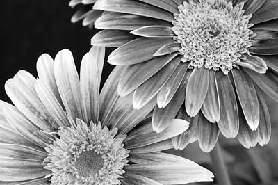Gerber Daisy Photograph - Black And White Gerber Daisies 3 by Amy Fose