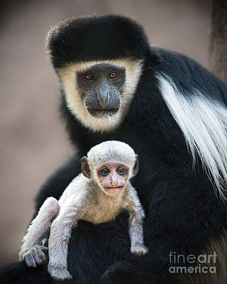 Colobus Photograph - Black And White by Jamie Pham