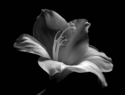 Black And White Lily Print by Artecco Fine Art Photography