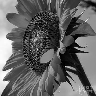 Artist Christine Belt Photograph - Black And White Sunflower No.29 by Christine Belt